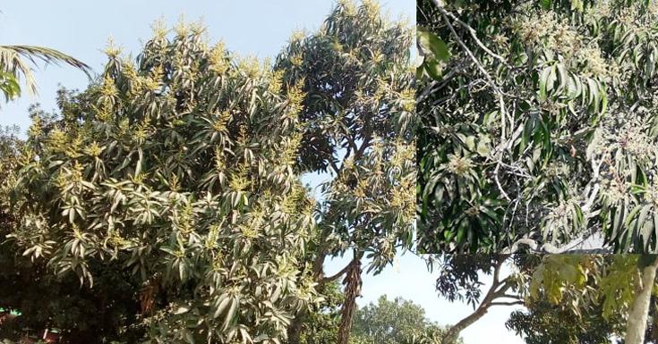 পাটকেলঘাটায় ফাগুনের স্নিগ্ধ বাতাসে সুবাস ছড়াচ্ছে স্বর্ণালী মুকুল