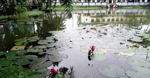 কেশবপুরে পুকুরে লাল শাপলার নয়নাভিরাম দৃশ্যে মুগ্ধতা