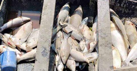 তালায় সাংবাদিক খলিলের মৎস্য ঘেরে বিষ প্রয়োগে ৮ লক্ষ টাকার মাছ নিধন