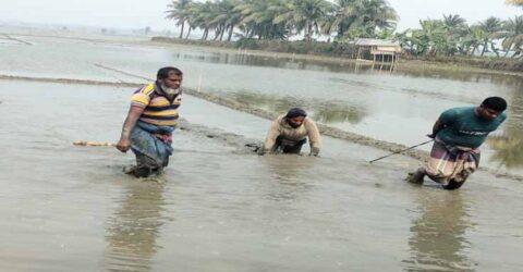 কেশবপুরে বোরো ক্ষেতে হালের গরুর বদলে মই টানছে কৃষক