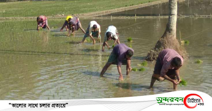 রাজগঞ্জের মাঠে মাঠে কৃষকরা ইরি-বোরো ধান রোপণে ব্যস্ত