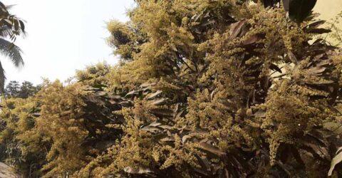 রাজগঞ্জে আমের মুকুল দেখে কৃষকের মনে আনন্দ, বাম্পার ফলনের আশা