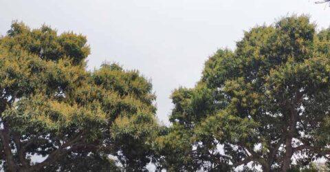 পাইকগাছায় ৫শ ৮৫ হেক্টর জমিতে আমের চাষ