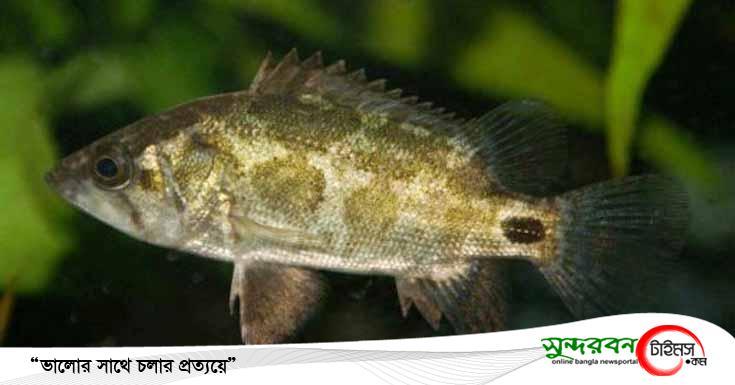 """ডুমুরিয়ায় বিলুপ্তির পথে """"রয়না মাছ"""""""