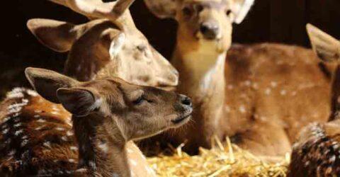 সুন্দরবনের সাতক্ষীরা রেঞ্জে হরিণের মাংসে ভুরিভোজ: কর্মকর্তা বরখাস্ত