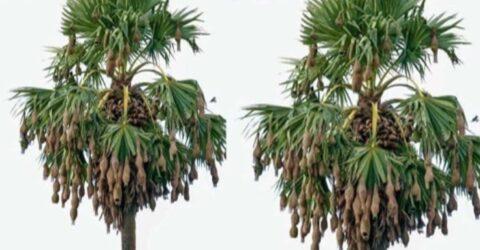 ডুমুরিয়ায় কালের বিবর্তনে হারিয়ে যেতে বসেছে গ্রাম বাংলার চিরচেনা সেই বাবুই পাখির বাসা