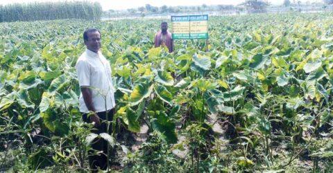 ডুমুরিয়ায় বিলাসী জাতের মুখীকচু চাষে কৃষকের ভাগ্যের পরিবর্তন