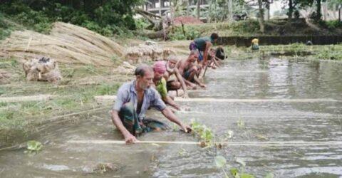 রাজগঞ্জে পাটের আঁশ ছাড়াতে ব্যস্ত কৃষক