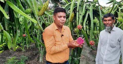 ডুমুরিয়ায় ১৪৭ টি গাছে ড্রাগন চাষে কৃষকের ভাগ্য বদল